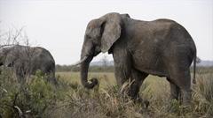 African Elephant (Loxodonta africana) bull Stock Footage