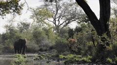 African Elephant (Loxodonta africana) drinking Arkistovideo