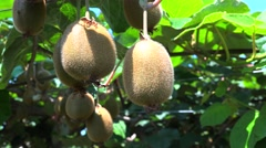 Ripe fruits on the Kiwi plantation (Actinidia deliciosa, cultivars 'Hayward'). Stock Footage