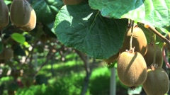 Ripe fruits on the Kiwi plantation (Actinidia deliciosa, cultivars 'Hayward'). Stock Footage