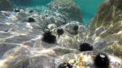 Sea urchins in the shallow coastal water. Chalkidiki, Greece. Stock Footage