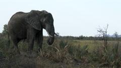 African Elephant (Loxodonta africana) close-up Stock Footage