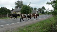 A herd of cows on the road,in the village. Stock Footage