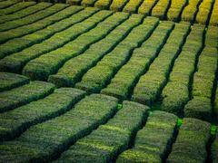 Tea plantation on Sao Miguel, Azores Stock Photos