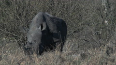 White Rhinoceros (Ceratotherium simum) grazing in woodland Stock Footage