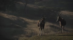 Blesbuck Antelope,South Africa Stock Footage