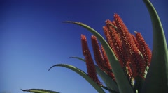 Colorful aloe flowers against blue sky Stock Footage