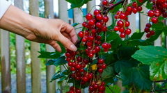 Female hands collect red currants Stock Footage