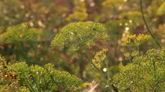Beautiful dill on a blurred background Stock Footage