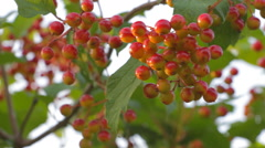 Bunch of ripe Viburnum wind shakes Stock Footage