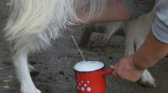 Fresh Milk of She Goat Stock Footage