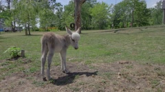 Little Baby Donkey On The Farm - stock footage
