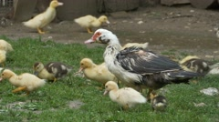 Duck with Baby Nibbling Grass Stock Footage