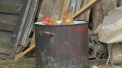 Hen in a Pot at Farm Stock Footage