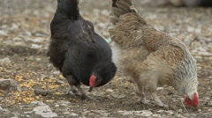 Chickens Peck at Grain Stock Footage