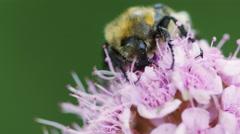 Beetle feeding nectar, macro footage Stock Footage