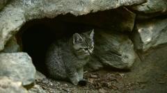 European wild cat kitten looking surprised in front of burrow under rock Stock Footage