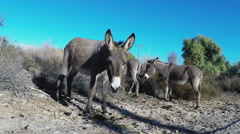 Wild Burros Grazing By The Roadside- Parker Arizona Stock Footage