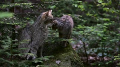 European wild cat sitting in pine forest and kitten passing by Stock Footage