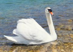Swan swims in shallow water Stock Photos