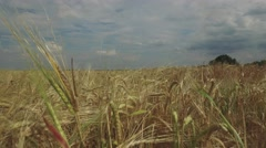 Wheat field on background of storm clouds Stock Footage