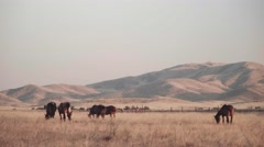 Horses grazing near foothills - stock footage