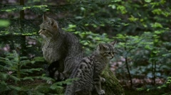 European wild cat kitten playing with female's tail in forest Stock Footage