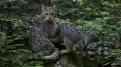 European wild cat (Felis silvestris silvestris) and playful kittens in forest Stock Footage