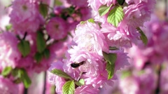 Honeybee is suckling nectar from apricot blossom. Close up. Slow motion Stock Footage