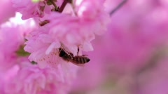 Blooming apricot tree in spring honey bees pollinating. Close up. Slow motion Stock Footage