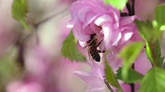 Bee are pollinating apricot flowers in the springtime. Close up. Slow motion Stock Footage