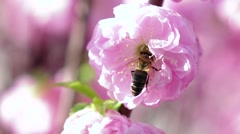 Bee pollinating apricot blossoms in spring. Close up. Slow motion Stock Footage