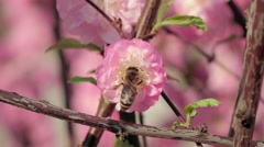 Honey bee pollinating an apple flower in early spring. Close up. Slow motion Stock Footage