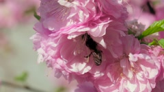 Blossoming tree. Bees. Close up. Slow motion Stock Footage