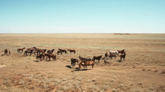 horses in the steppe - stock footage
