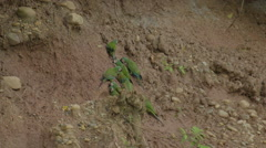 Macaw Clay Lick in Tambopata National Reserve Stock Footage