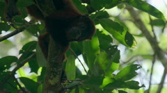 Red Howler Monkey sitting on branch in the rainforest Stock Footage