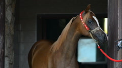 Young arabian horse portrait Stock Footage