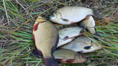 Caught a small carp lying on the grass - stock footage