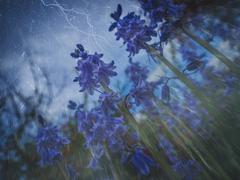 Blue Campanula rapunculoides Kuvituskuvat