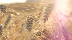 Wheat Violet Soft - stock footage