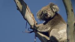 Wild Australian Koala Bear sitting in a tree looking down the lens 2. Stock Footage