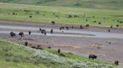 4K Wild Bison Herd Crosses River Stock Footage