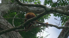 Red Howler Monkey sitting on tree in the rainforest Stock Footage