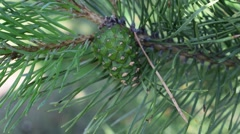 Conifer cone Stock Footage