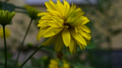 Yellow flower and strong wind Stock Footage