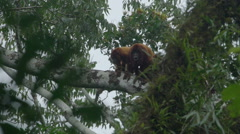 Two Red Howler Monkey in the rainforest Stock Footage
