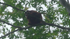 Red Howler Monkey in the rainforest Stock Footage