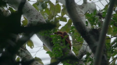 Red Howler Monkey in the rainforest - stock footage