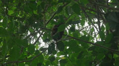 Red Howler Monkey - stock footage